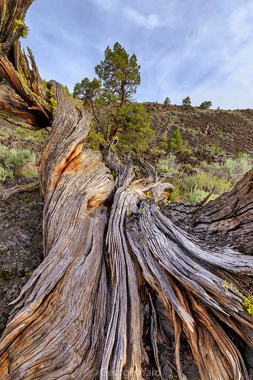 Western Juniper Snag Lava Beds National Monument, California