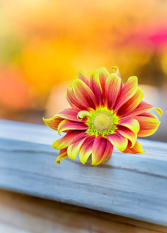 A seasonal daisy fill with the colors of fall. Bursting orange and yellow petals with autumn colors in the background.