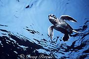 hatchling green sea turtle, Chelonia mydas, swims out to sea from nesting beach on Sipadan Island, off Borneo, Sabah, Malaysia  ( Celebes Sea / Western Pacific Ocean )