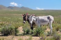 BURROS (Equus asinus) ENFLORADOS EN LA PUNA, PROV. DE JUJUY, ARGENTINA