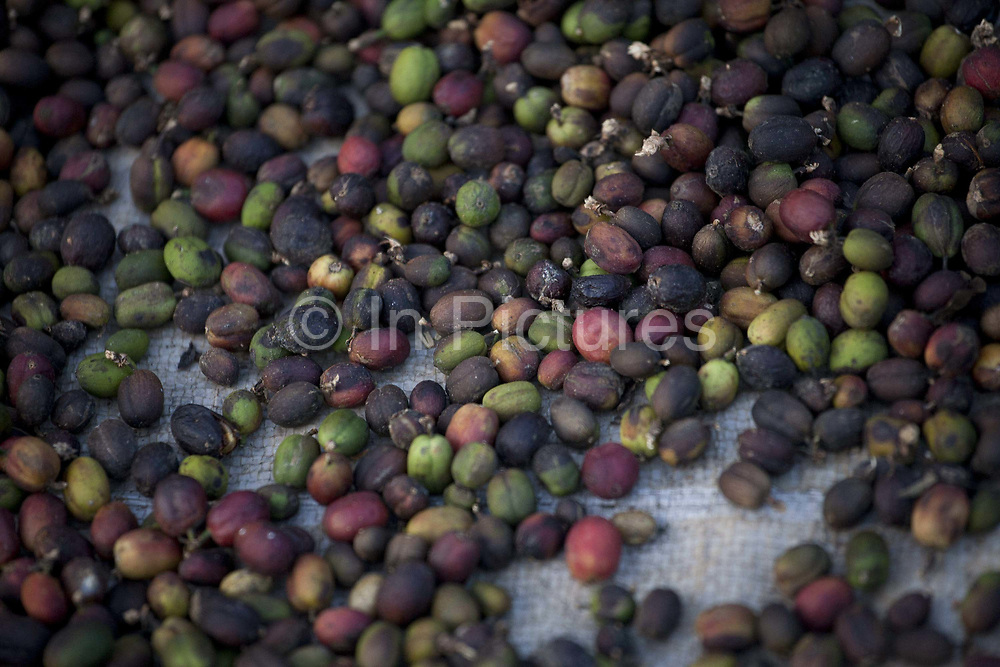 Coffee beans detail shot. Coorg or Kadagu is the largest coffee growing region of India, in the state of Karnataka, the inhabitants - the Kodavas have been cultivating crops such as coffee, black pepper and cardamon for many generations.