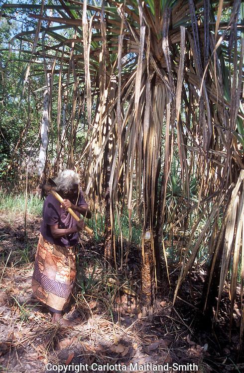 Woman collecting pandanus for weaving  Nguiu community Bathurst  Tiwi Islands.