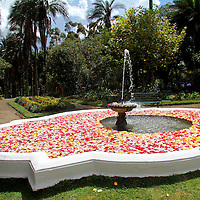 South America, Ecuador, Cayambe. Rose Petals float in the fountain in the garden of Hacienda Compania.