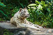 White tiger at the Singapore Zoo, Singapore, Republic of Singapore