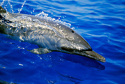 pantropical spotted dolphin calf, wake-riding, Stenella attenuata, off Kona Coast, Big Island, Hawaii, Pacific Ocean