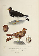 hand coloured sketch of birds and eggs Top: Mountain Caracara (Phalcoboenus megalopterus [Here as Phalcoboenus montanus]) Adult Bottom: Juvenile. From the book 'Voyage dans l'Amérique Méridionale' [Journey to South America: (Brazil, the eastern republic of Uruguay, the Argentine Republic, Patagonia, the republic of Chile, the republic of Bolivia, the republic of Peru), executed during the years 1826 - 1833] 4th volume Part 3 By: Orbigny, Alcide Dessalines d', d'Orbigny, 1802-1857; Montagne, Jean François Camille, 1784-1866; Martius, Karl Friedrich Philipp von, 1794-1868 Published Paris :Chez Pitois-Levrault et c.e ... ;1835-1847