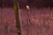 Barn owl (Tyto alba) perched on fencepost in the twilight. Surrey, UK.