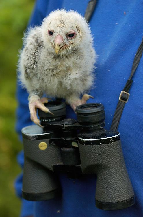 Ural owl chicks; Strix uralensis; caught for ringing; Vastmanland Sweden
