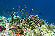 Coral Reef  Diversity<br /> Fiji.<br /> South Pacific