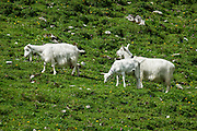 Domesticated goats at Widderalp farm, in the Alpstein limestone range, Appenzell Alps, Switzerland, Europe. Below Bötzel pass, Widderalp comforts hikers with a homey restaurant and dormitory style (Matratzenlager) lodging. Appenzell Innerrhoden is Switzerland's most traditional and smallest-population canton (second smallest by area).