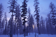 Evergreens in snow<br />