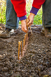 Placing hardwood cuttings in a trench
