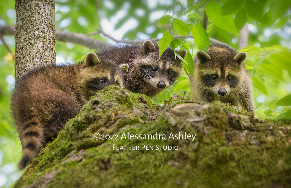 A full set of three raccoon (Procyon lotor) kits peering down from their perch atop a large tree limb. Photographed on nature preserve at Ohio Bird Sanctuary.