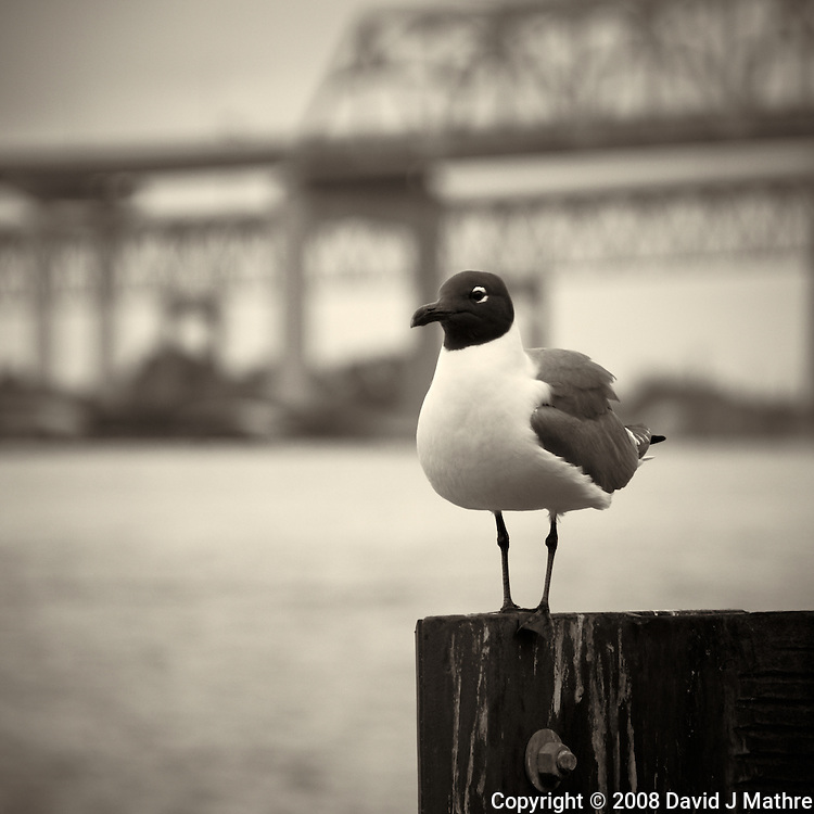 Seagull along Mississippi River in New Orleans, Louisiana. Image taken with a Nikon D300 and 18-200 mm lens (ISO 200, 170 mm, f/5.6, 1/400 sec). Processed with Capture One Pro (including conversion to B&W).