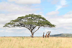 Photo taken on April 11, 2016 shows giraffes in Serengeti National Park in northern Tanzania. EXPA Pictures © 2016, PhotoCredit: EXPA/ Photoshot/ Li Sibo<br /> <br /> *****ATTENTION - for AUT, SLO, CRO, SRB, BIH, MAZ, SUI only*****