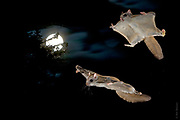 """VALENTINE (NIGHT) IN THE FROZEN NORTH   Courting flying squirrels (Glaucomys sabrinus) chase each other on a February's full moon in the northern Blackfoot forest.<br /> <br /> 2:30AM, -35F...<br /> <br /> See """"Cirque de la Lune"""" in PhotoStories"""