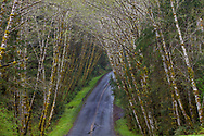 Alder tree canopy over the Hoh Road in the Olympic National Forest, Washinton, USA