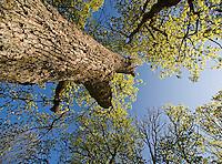 Oak, Quercus robur, Matsalu Bay Nature Reserve, Estonia