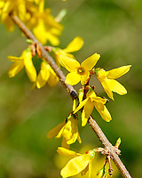 Forsythia. Image taken with a Fuji X-T2 camera and 80 mm f/2.8 macro lens.