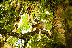 , Madagascar - 11/26/2015 - Diademed sifaka (Propithecus diadema) sitting high up in the lush forests of Andasibe-Mantadia National Park, Madagascar.(Photo by Shannon Wild/VWPics) *** Please Use Credit from Credit Field *** *** Please Use Credit from Credit Field ***