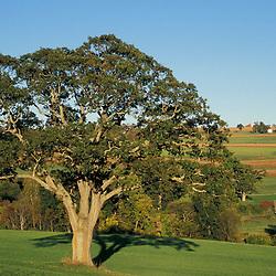 Kent, CT.. An Oak tree in a  field in the Litchfield Hills of western Connecticut.  Twin Oaks Farm (Sharon Land Trust.)