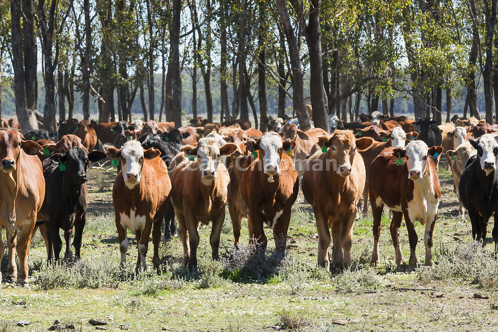 herd of mixed beef cattle at Whetstone, Queensland, Australia <br />