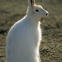 NUNAVUT, CANADA. Arctic hare (Lepus arcticus) near Eureka, Ellesmere Island.