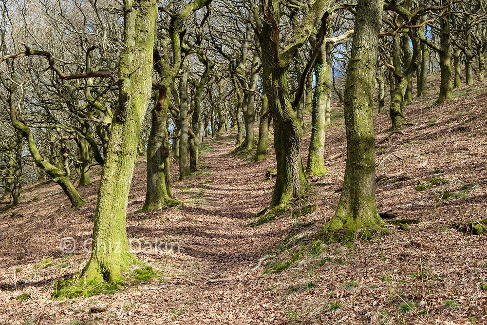 The avenue of oak trees