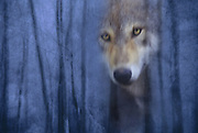 Image of a wild gray wolf (Canis lupus) peering out of a blue forest near Kalispell, Montana, Pacific Northwest (photo-illustration), property released by Randy Wells