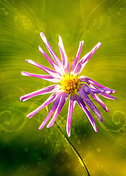 Slender Petals Give Way To Dance In The Garden