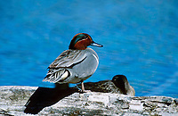 Green-winged Teal (Anas crecca), Banff national park - Vermillion Lakes, Alberta, Canada   Photo: Peter Llewellyn
