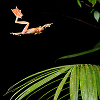 The enlarged webbed feet of the Harlequin Tree Frog (Rhacophorus pardalis) enable it to maneuver in mid-air and slow its descent from a higher perch towards a safe landing. Sarawak, Malaysia (Borneo).