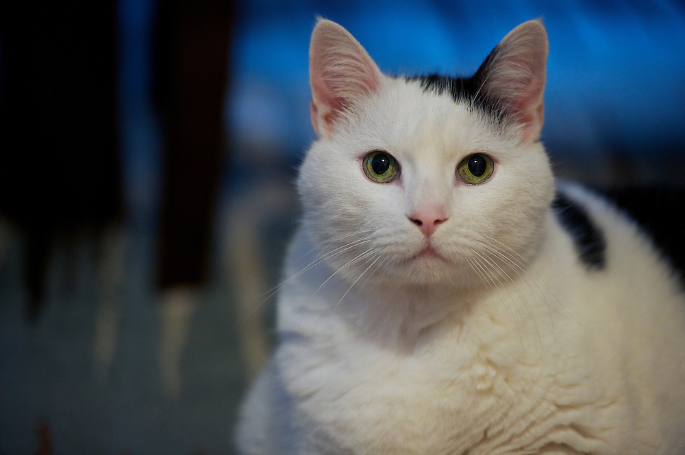 Otto the cat is photographed in the home of his owner and adoptive parent, in Collingswood, NJ on March 15, 2013.  He had once weighed as much as 36 pounds, but since being adopted in May 2012, he is becoming increasingly healthy and now weighs half as much as he had.