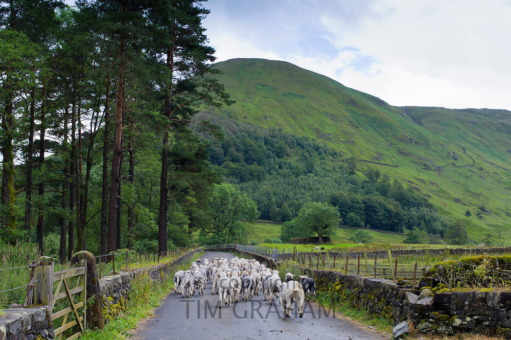 Herdwick sheep by Westhead Farm by Thirlmere in the Lake District National Park, Cumbria, UK