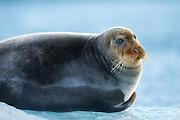 Bearded Seal lies on a ice floe in Kongsfjorden, Spitzbergen | Storkobbe ligger på et isflak i Kongsfjorden, Svalbard.