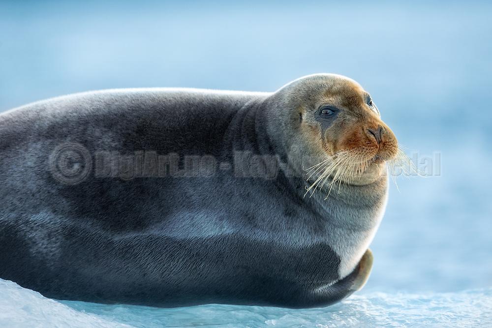 Bearded Seal lies on a ice floe in Kongsfjorden, Spitzbergen   Storkobbe ligger på et isflak i Kongsfjorden, Svalbard.