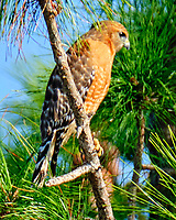 Red-shouldered Hawk (Buteo lineatus). Merritt Island National Wildlife Refuge. Image taken with a Fuji X-T2 camera and 100-400 mm OIS lens.