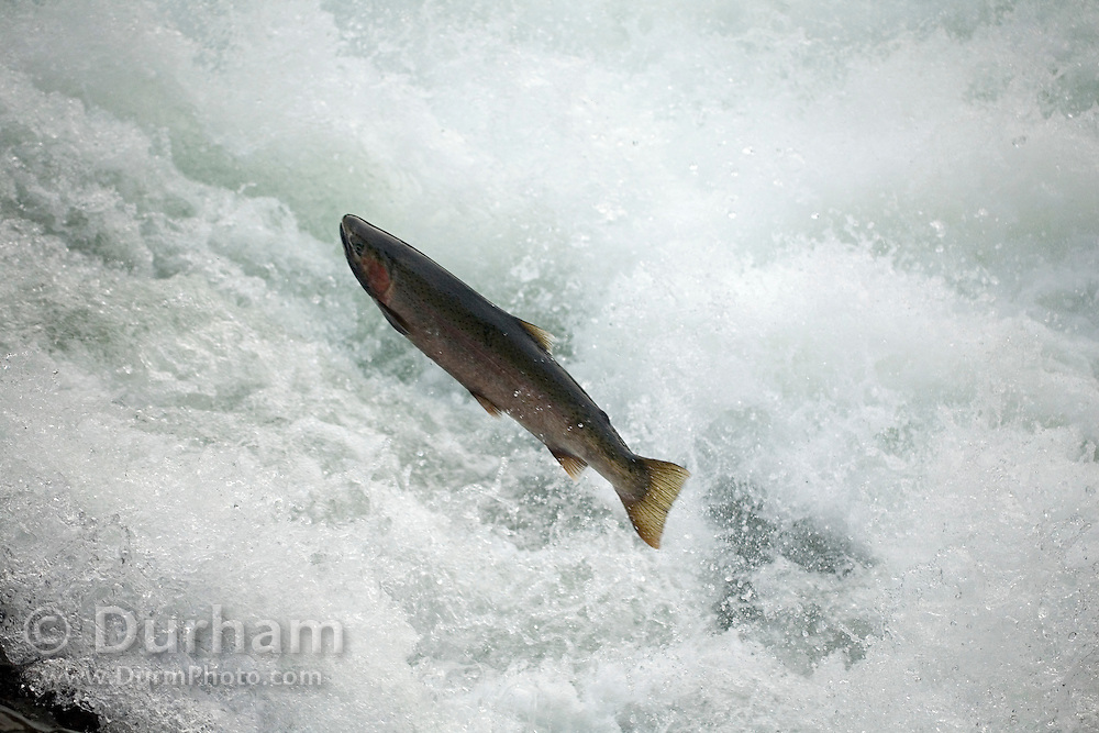 A steelhead trout (Oncorhynchus mykiss) jumping up a falls on the Lewis River, Washington.