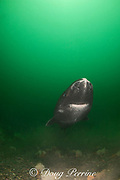 Greenland sleeper shark ( Somniosus microcephalus )<br /> St. Lawrence River estuary Canada<br /> (This shark was wild & unrestrained. It was not hooked<br /> and tail-roped as in most or all photos from the Arctic.)