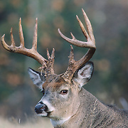 Portrait of a whitetail deer buck bedded down in a meadow during fall rut. Wisconsin