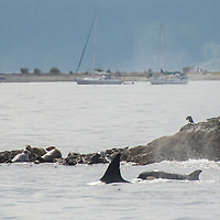 Transient orca, also know as Biggs killer whales, swim back and forth next to several harbor seals, seen in the San Juan Islands, Washington, USA. The orca were actively hunting the harbor seals, one of their most common prey species. Suddenly the orca darted away from the small island, and researches believed they had caught a seal, although it was not visible from the surface. Killer whales are actually the largest members of the dolphin family, and are regularly seen in the Salish Sea of Washington and British Columbia. Transient orca feed exclusively on marine mammals, including seals, sea lions, and even dolphins and baleen whales.  September 2, 2013. Photo © William Drumm.