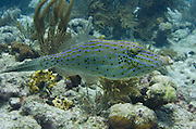 Scrawled Filefish (Aluterus scriptus)<br /> BONAIRE, Netherlands Antilles, Caribbean<br /> HABITAT & DISTRIBUTION: Reefs and open water<br /> Florida, Bahamas, Caribbean, Gulf of Mexico, north to Massachusetts, Bermuda & south to Brazil.
