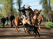 PRICE CHAMBERS / NEWS&GUIDE<br /> Ranch hand Tom Breen ropes a loose calf as he drives Walton Ranch cattle to the annual branding.