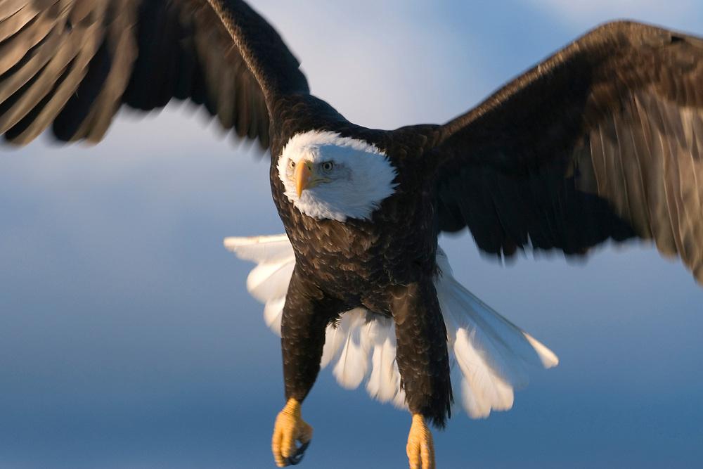 Mature Bald Eagle flying.