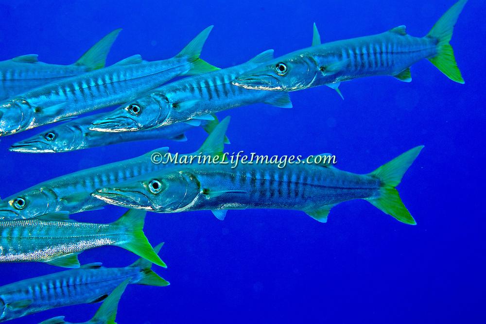 Pickhandle Barracuda school in open water. Pacture taken Fiji.