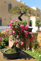 Wilem Pretorius cultivated bonsai during the Cape Town Flower Show held at the Castle of Good Hope between the 27th and the 30th October 2016.<br /> <br /> Photo by Ron Gaunt/ RealTime Images