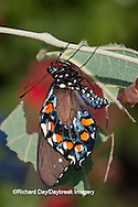03004-013.02 Pipevine Swallowtail Butterfly (Battus philenor) newly emerging from chrysalis,  Marion Co., IL
