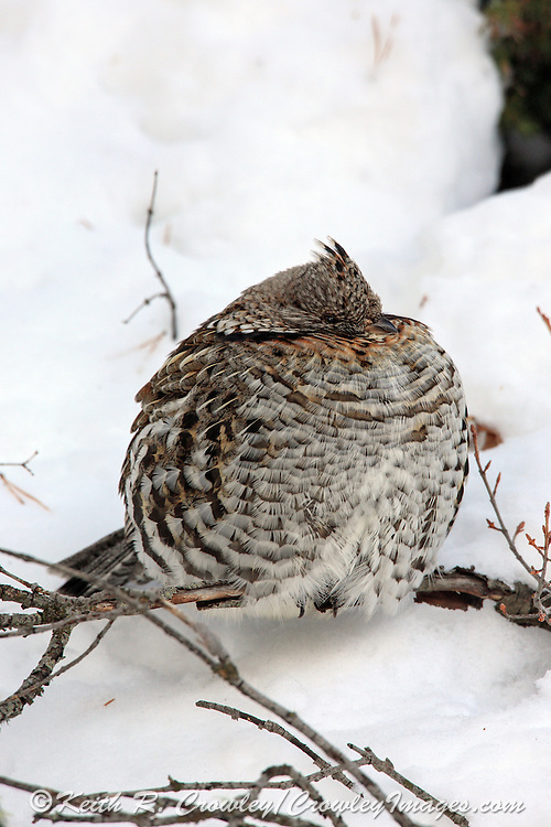 A Ruffed Grouse perches on a low branch on a sub-zero morning.