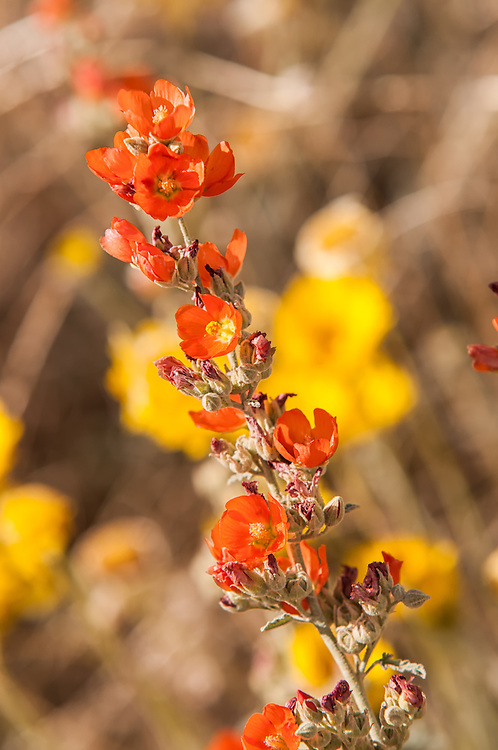 One of my favorite desert wildflowers, the desert globe mallows are often seen along roadsides, such as this one in rural Pima County in Southern Arizona, deep in the Sonoran Desert.