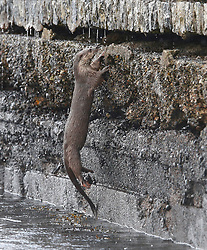 An otter climbing a vertical sea wall to enter it's holt on Loch Etive…… (c) Stephen Lawson | Edinburgh Elite media